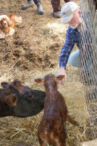 Calf checking out Jim