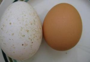 Midget White Turkey Egg