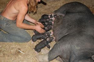 six piglets getting the colostrum, after birth