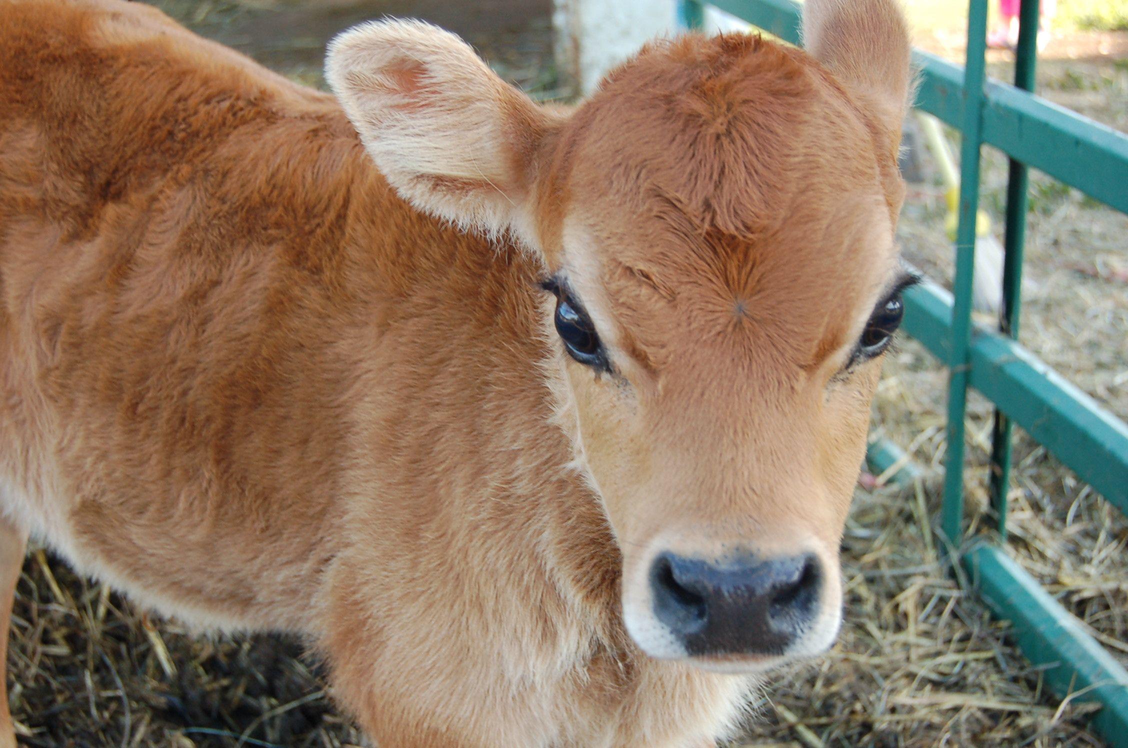 Calf Ruminations