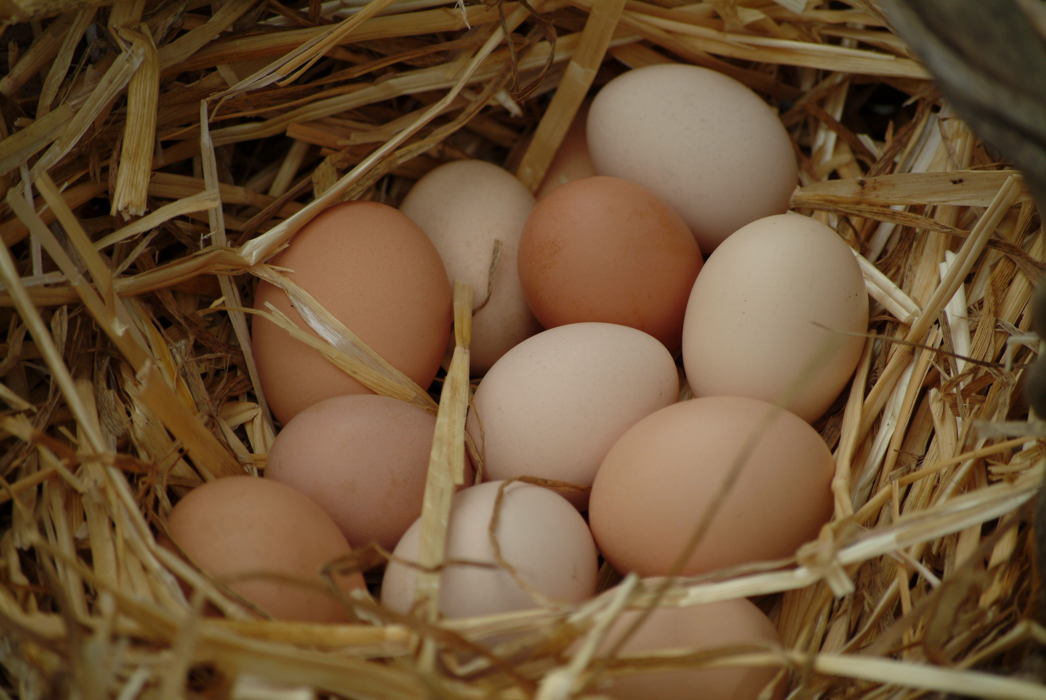 Several Hens use the same nest